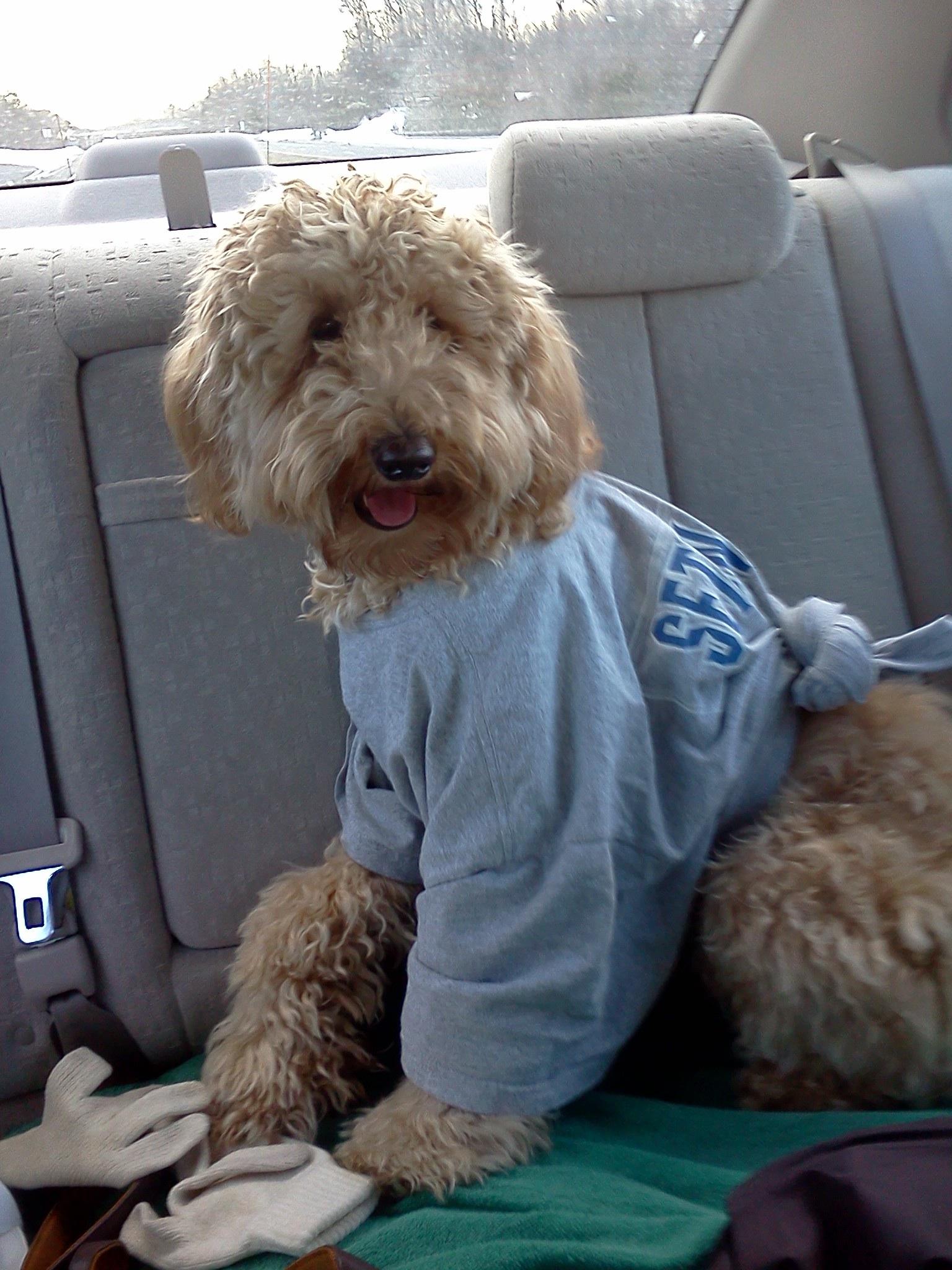 Puppy Poodle Mix A labrador-poodle mix.
