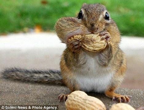 chipmunk-stuffing-peanut-in-cheek
