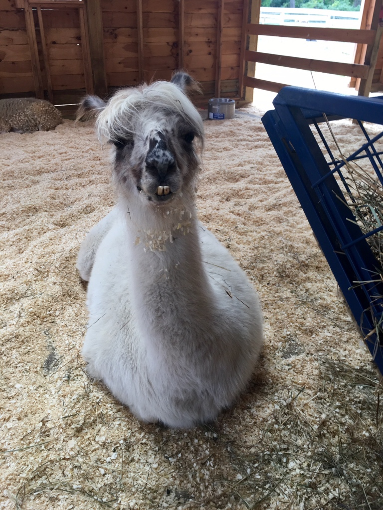 Dolly-the-Llama