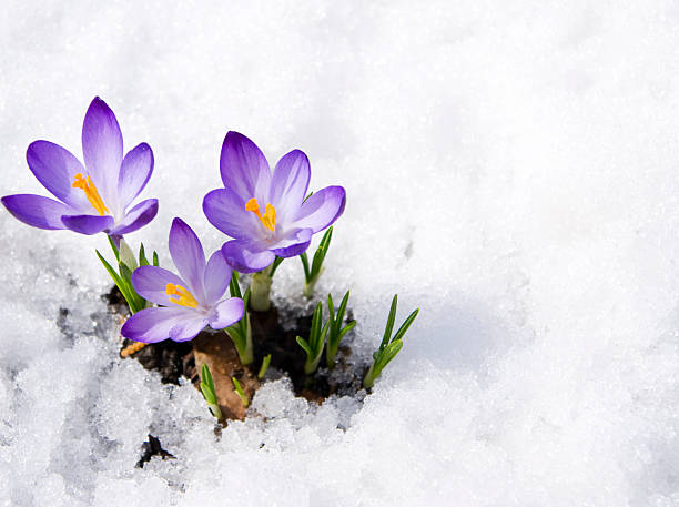 crocus-stock-photo