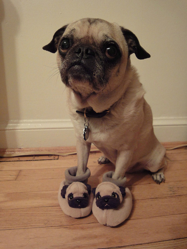 pug_with_pug_slippers