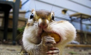stuffed-chipmunk-cheek-2